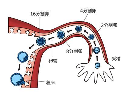 受精 まで から 排卵